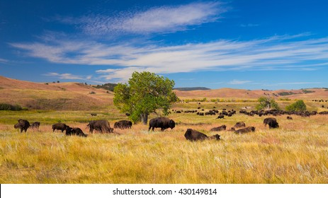 Bison on grasslands, Custer State Park, South Dakota, USA