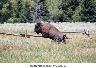 Bison on Prairie Jumping Fence
