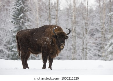 Bison On Snow Field. Majestic Powerful Adult Aurochs ( Wisent ) In Winter Time, Belarus. Wild European Wood Bison,Bull (Male). Wildlife Scene From Nature With Brown Bison. Aurochs In The Snow.
