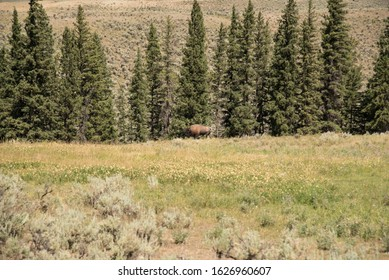 Bison in open field. Yellowstone National Park.