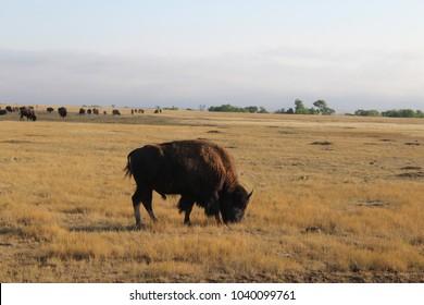 bison in plains of badlands