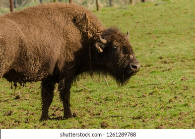 A bison in profile