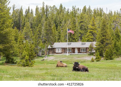 Bison rest in front of The Museum of the National Park Ranger, it is housed in the Norris Soldier Station, Yellowstone NP.