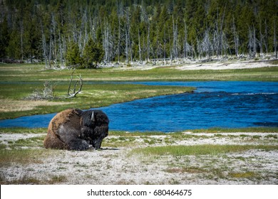 A Bison resting along the Madison River in Yellowstone National Park, Wyoming U.S.
