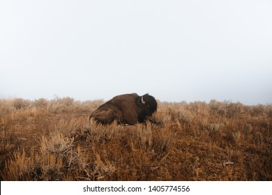A bison resting in the American West