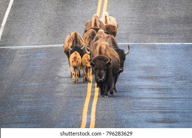 Bison road block in Yellowstone National Park