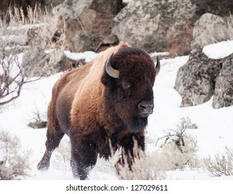 Bison running during winter in Yellowstone
