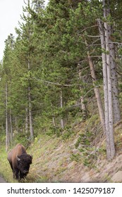 A bison is seen walkin in Yellowstone National Park