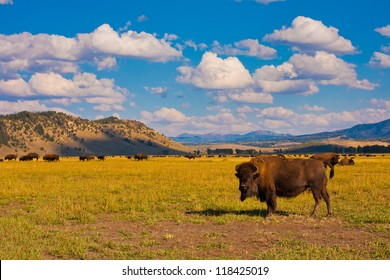Bison show in Grand Teton National Park