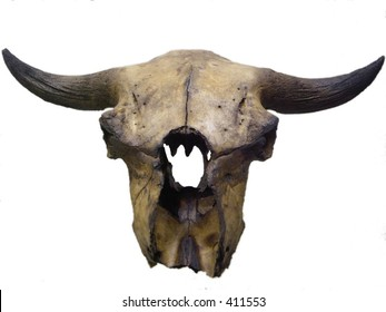 Bison skull, isolated