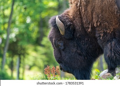 Bison smelling flowers close up on field with nature background, Selective focus.