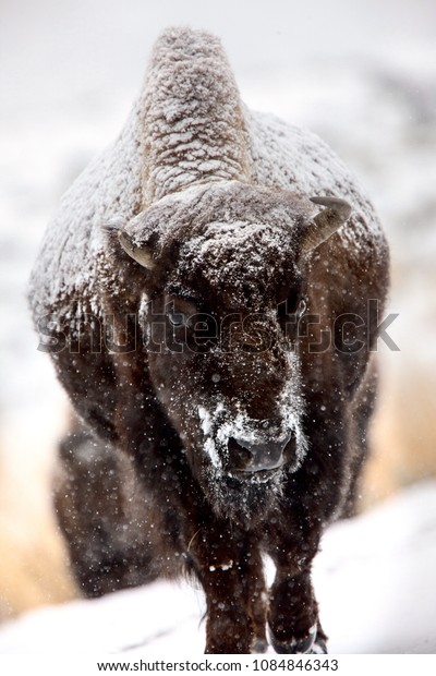 Bison Snow Storm blizzard cold Yellowstone USA