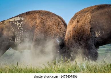 Bison Sparring in Theodore Roosevelt National Park in North Dakota