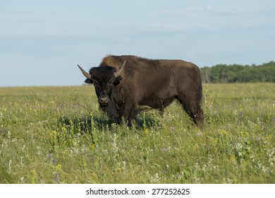 Bison standing in a field, Lake Audy Campground, Riding Mountain National Park, Manitoba, Canada