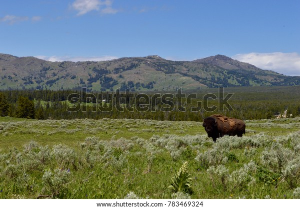 A bison stands alone in a valley of sage in Yellowstone National Park.