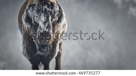 A bison stands motionless