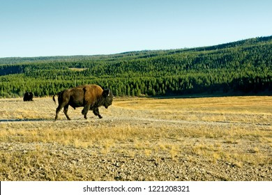 A bison strolls across a field on its way to a fresh grazing area in Yellowstone National Park.