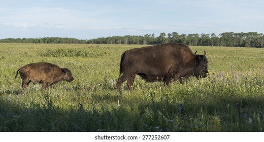 Bison walking in a field with its young, Lake Audy Campground, Riding Mountain National Park, Manitoba, Canada