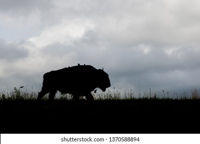 A bison walking on a grassy hilltop in silhouette with four birds sitting on