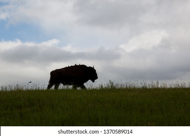 A bison walking on a grassy hilltop in silhouette with four birds sitting on its back with one more flying behind and dark storm clouds in the background.