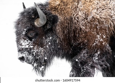 Bison walking out in the snow