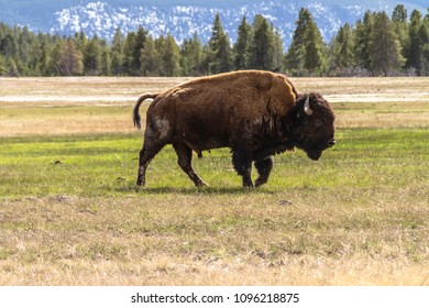 Bison walking in the prairie at Yellowstone National Park