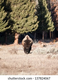 Bison walking toward the camera early spring