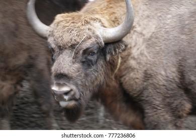 bison wild animal