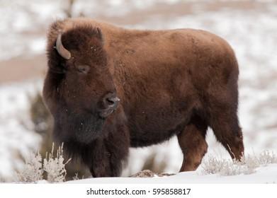 Bison in winter looking over his shoulder