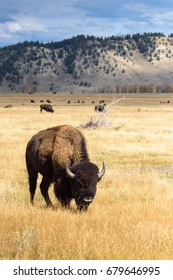 Bison in Wyoming.  Yellowstone. Jackson Hole.