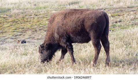 Bison im Yellowstone Nationalpark, Wyoming, USA