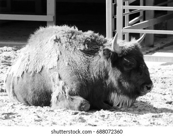 bison in a zoo black-and-white photo