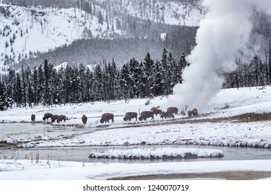Bison/Buffallo take advantage of a thermal pool in Yellowstone