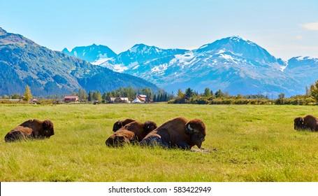 Bisons, buffalos, Alaska Wildlife Conservation Center, Alaska, USA