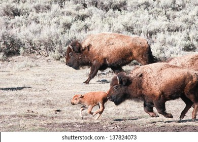 Bisons and calf running, early spring in Yellowstone