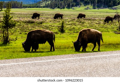 Bisons eating grass at Yellowstone National Park