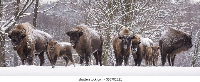Bisons family in winter day in the snow