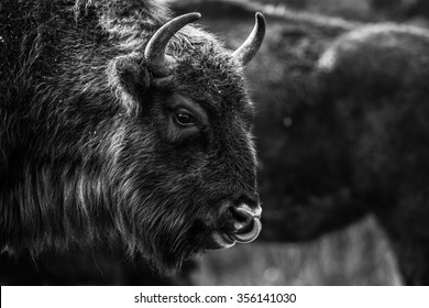 Bison's head detail in black and white.