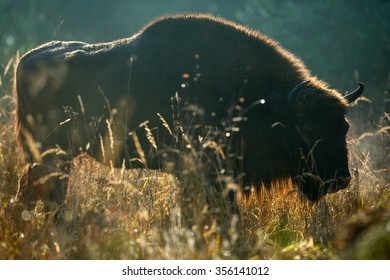 Bison's silhouette in morning backlight.