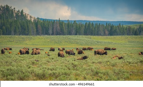 Bisons, yellowstone national park