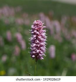 Bistort, snakeroot, snake-root, snakeweed or Easter-ledges, Bistorta officinalis. Seiser Alm, Dolomites, South Tyrol.