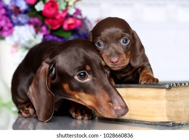 Bitch Dachshund and Puppy