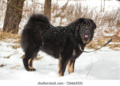 Bitch dog breed Tibetan Mastiff standing in the snow
