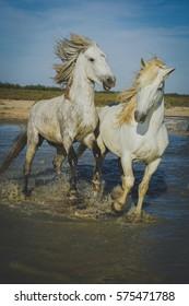 Biting white horses