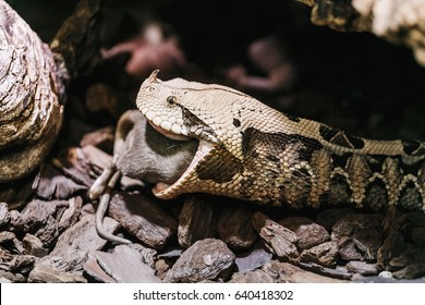 Bitis gabonica or Gaboon Viper in the Zoo eating big rat