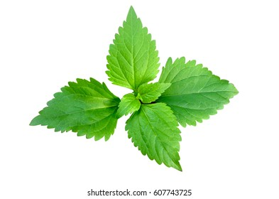 Bitter bush, Siam weed, green leaf on white background and clipping inside