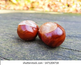 Bitter chestnuts resting on a smooth stone with a blurred background. Bitter chestnuts are the seed of Aesculus hippocastanum or horse chestnut and are not edible because of their bitter