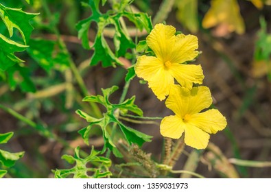 Bitter gourd, Bitter melon, Karela, Balsam pear yellow flowers (Momordica Charantia) are blossoming on the vine in the organic garden
