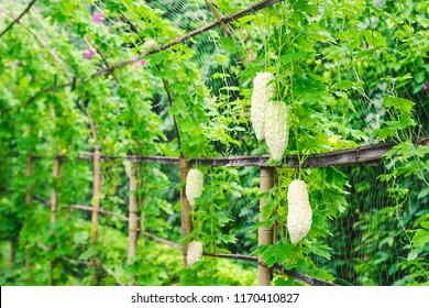 Bitter gourd plants in a farm
