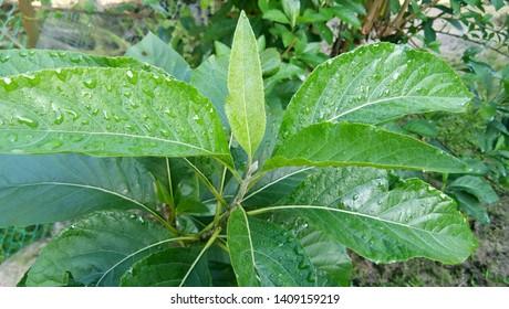 Bitter Leaf - Vernonia amygdalina (Asteraceae family) or 'Daun Bismillah' in Malay.
